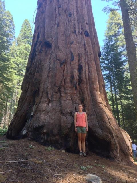Sequoia trees in Sequoia National Park, CA